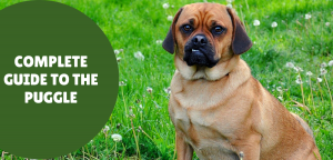 A Complete Puggle Guide: What Should New Owners Know?